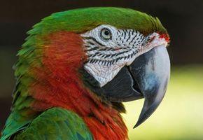 Бесплатные фото Military McCaw,попугай,птица