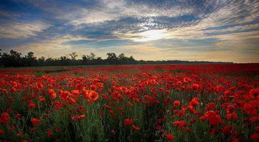 Бесплатные фото закат, поле, маки, цветы, пейзаж