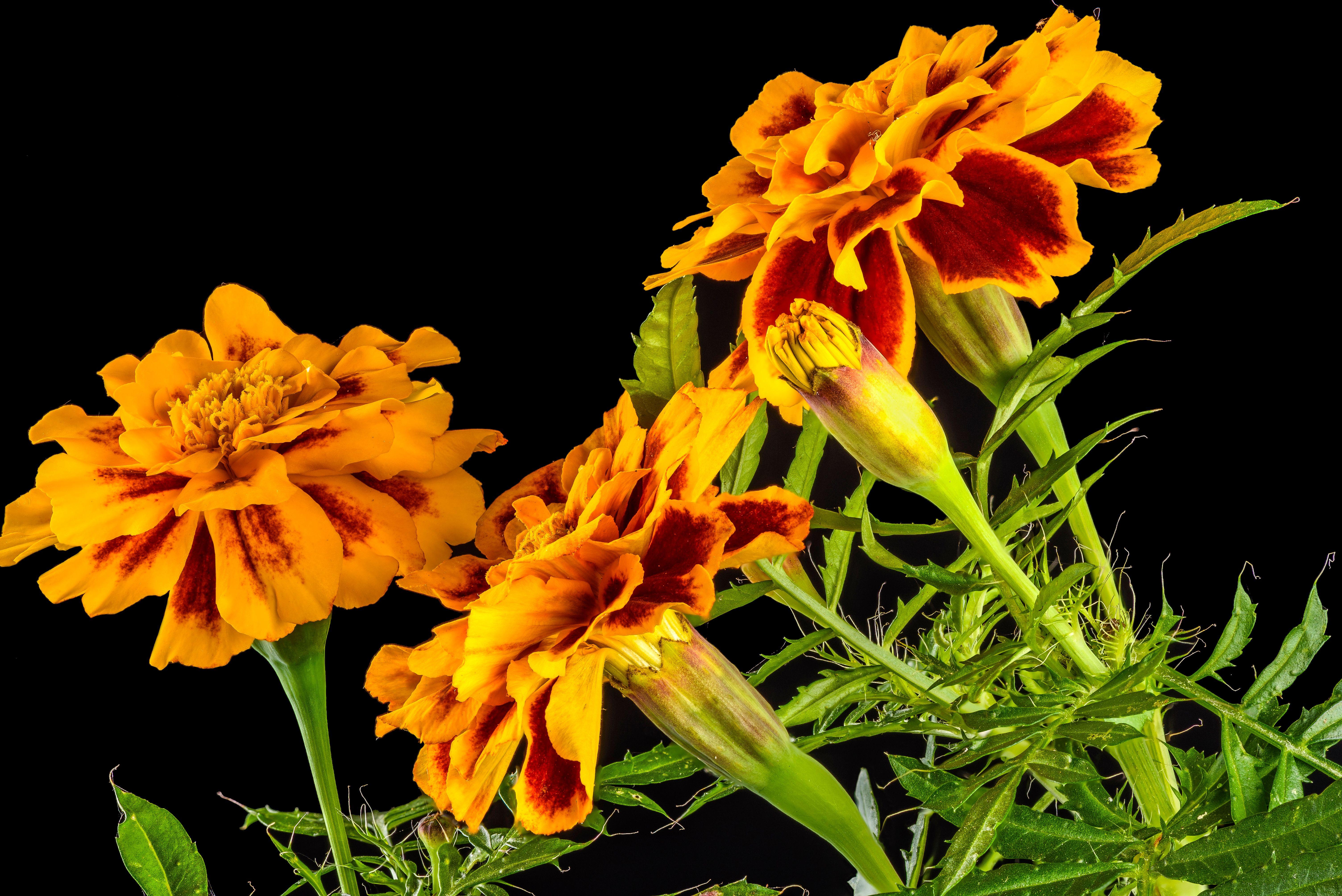 Обои Бархотки, Бархатцы, цветы, чёрный фон