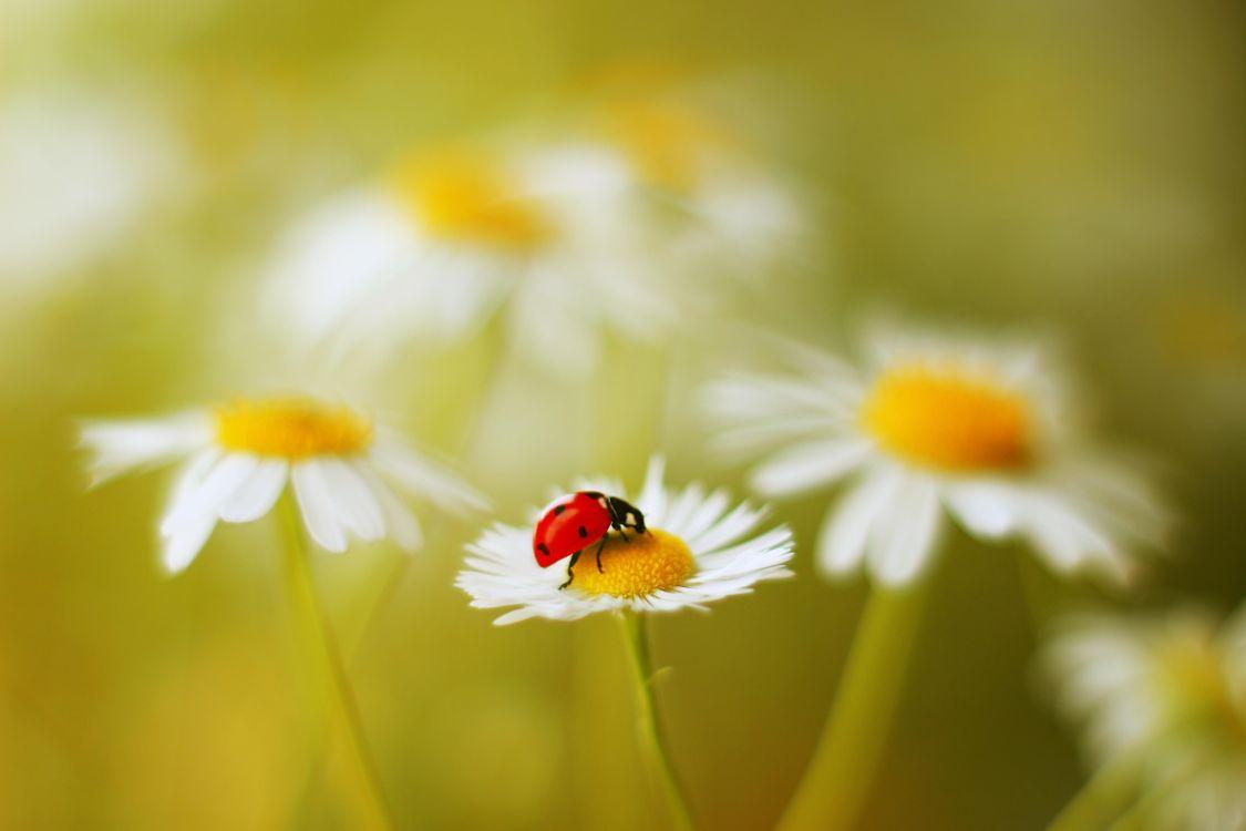 Фото бесплатно божья коровка, цветок, насекомое, макро - на рабочий стол