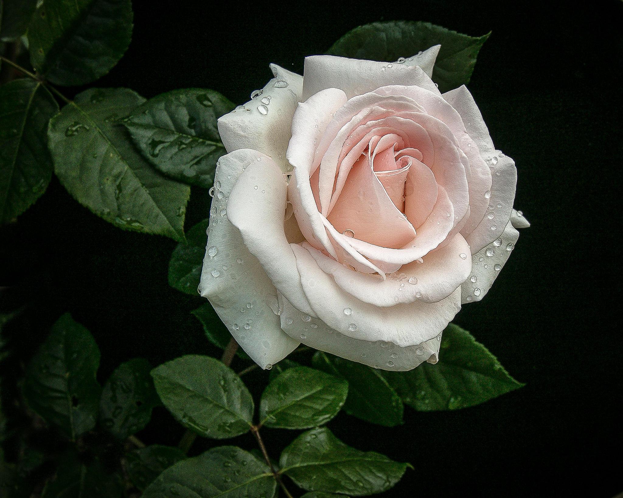 Обои цветы, роза, розы, флора