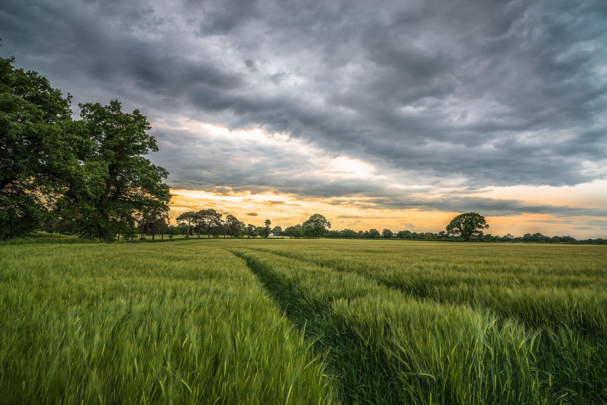 обои закат, поле, колосья, деревья картинки фото