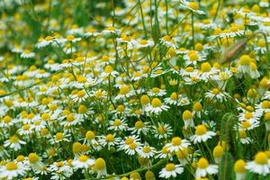 Photo free field, flowers, daisies