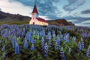 Бесплатные фото Исландия,поле,цветы,люпин,церковь,закат,пейзаж