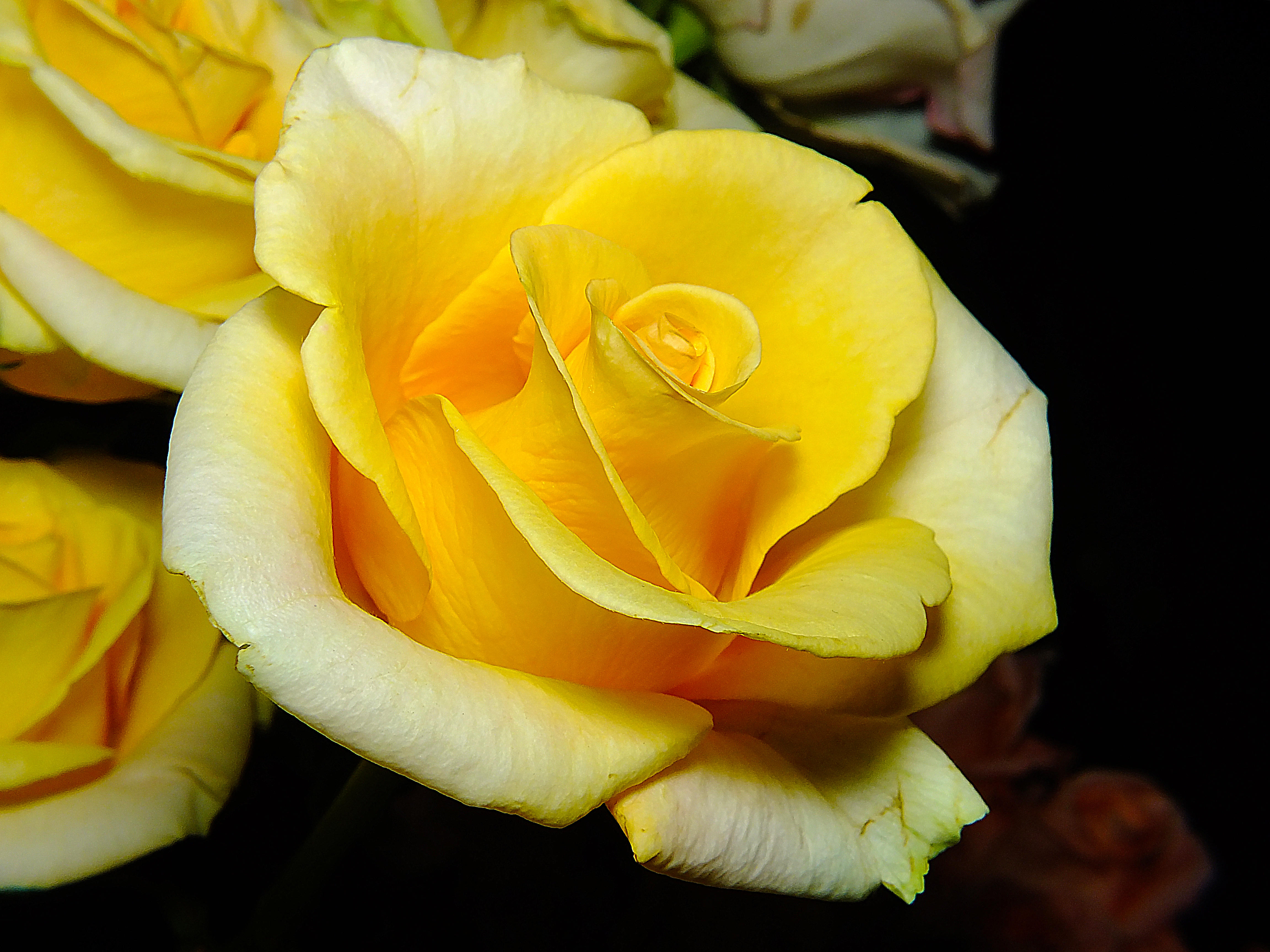 Обои роза, цветок, макро, флора