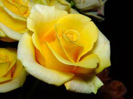 Заставки роза, цветок, макро