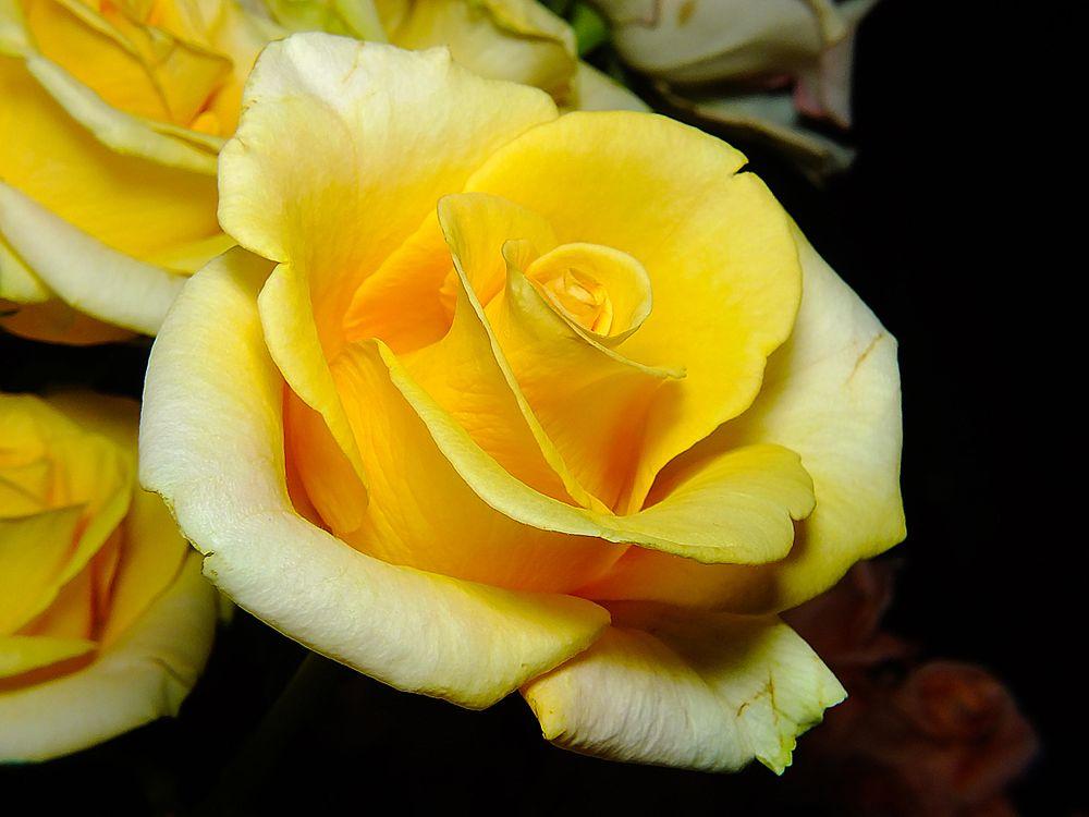 Обои роза, цветок, макро картинки на телефон