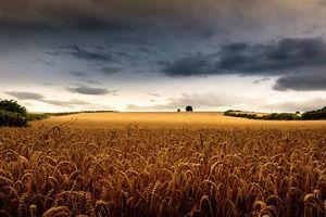 Фото бесплатно закат, поле, колосья