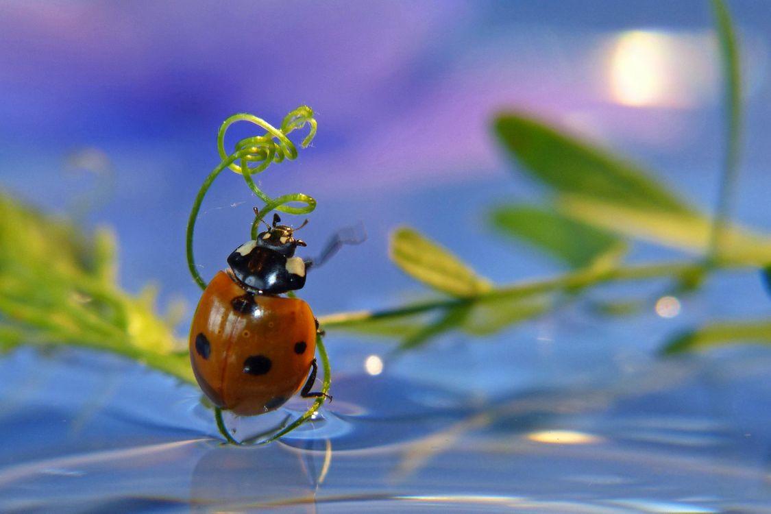 Фото бесплатно божья коровка, насекомое, макро - на рабочий стол