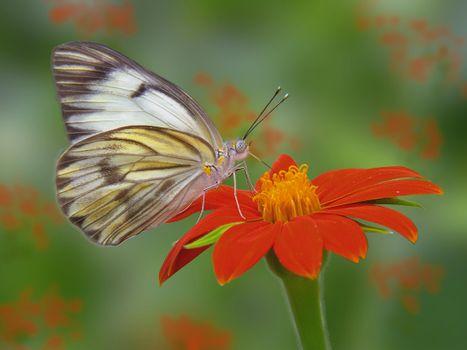 Скачать бабочка, бабочка на цветке картинки бесплатно