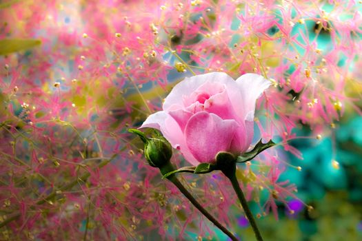 Photos rose, flower in good quality
