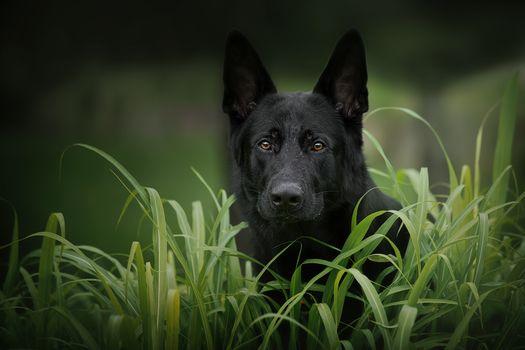Красивые обои немецкая овчарка, собака