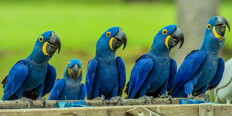 Обои Hyacinth macaw, попугай, панорама