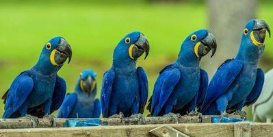Фото бесплатно Hyacinth macaw, попугай, панорама