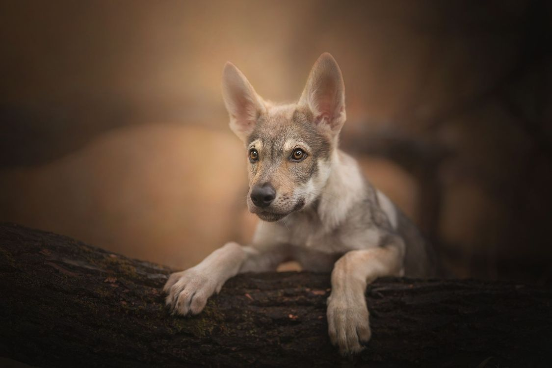 Фото бесплатно щенок, портрет, Чехословацкий влчак, Чехословацкая волчья собака, взгляд, собака - на рабочий стол