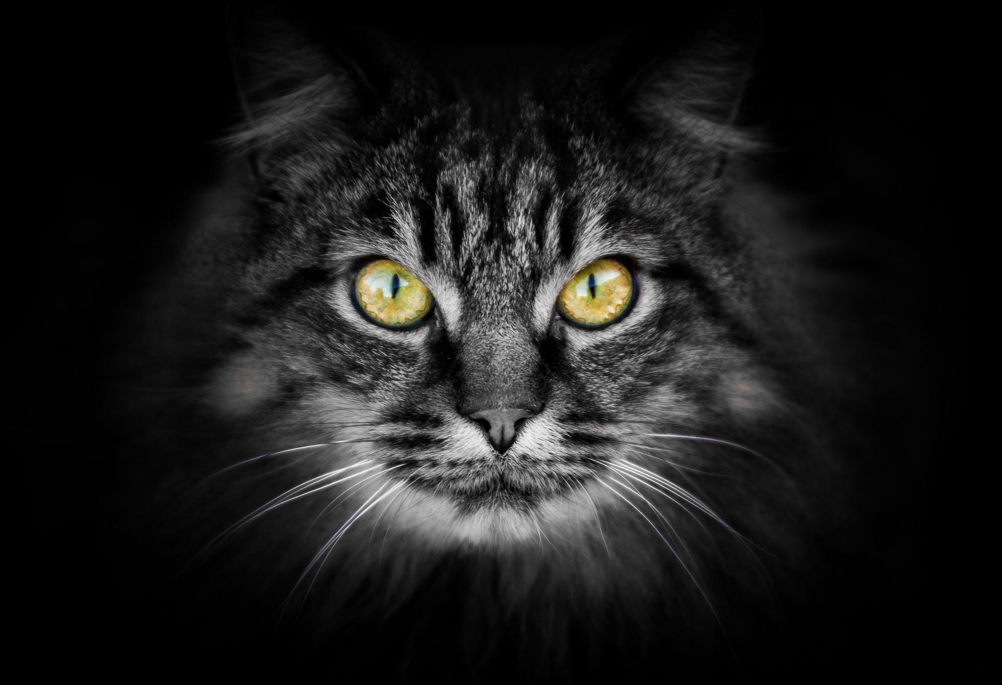 Обои кошка, кот, морда, взгляд