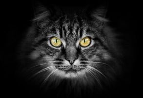 Бесплатные фото кошка, кот, морда, взгляд, животное, чёрный фон