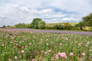 Бесплатные фото поле,дорога,цветы,маки,деревья,пейзаж