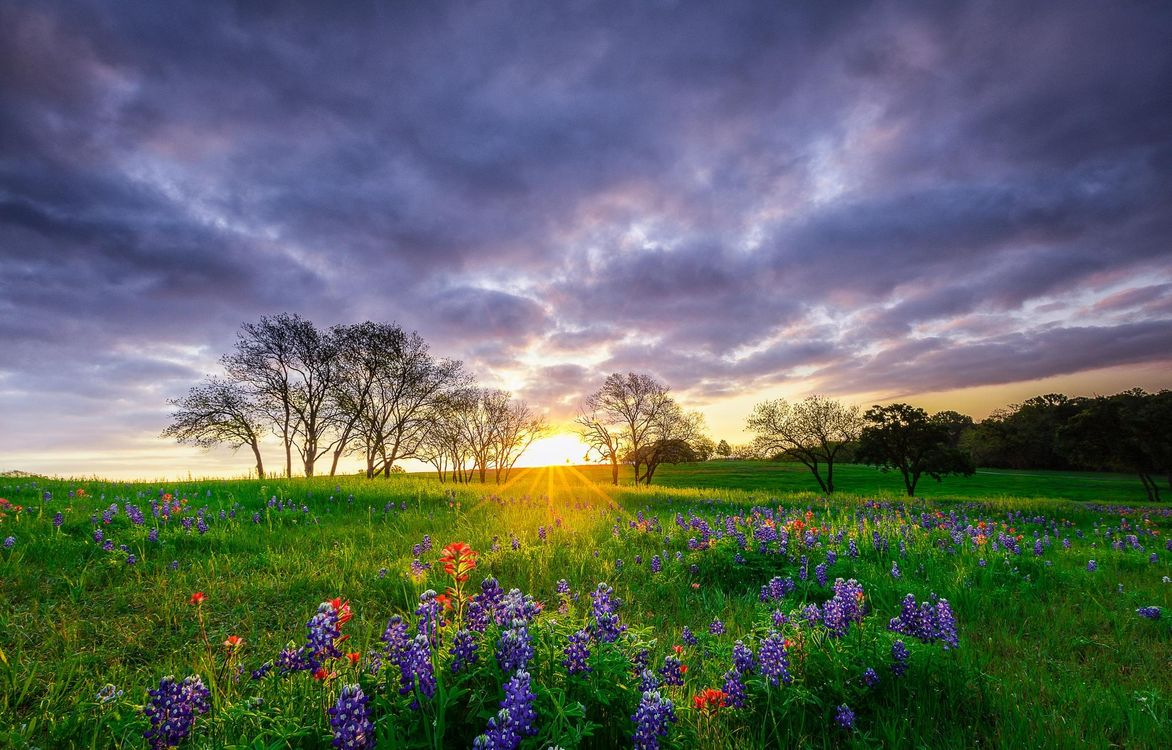 Фото бесплатно закат, поле, цветы, люпин, деревья, пейзаж, пейзажи