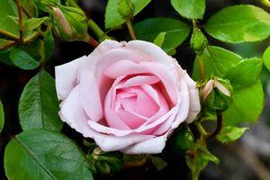 Фото на заставку роза, цветок
