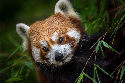 Обои животное, красная панда на телефон высокого качества
