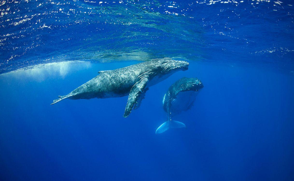 Фото бесплатно Теленок горбатого кита с матерью, Морские обитатели, море, Подводный мир, fonwall ru, подводный мир