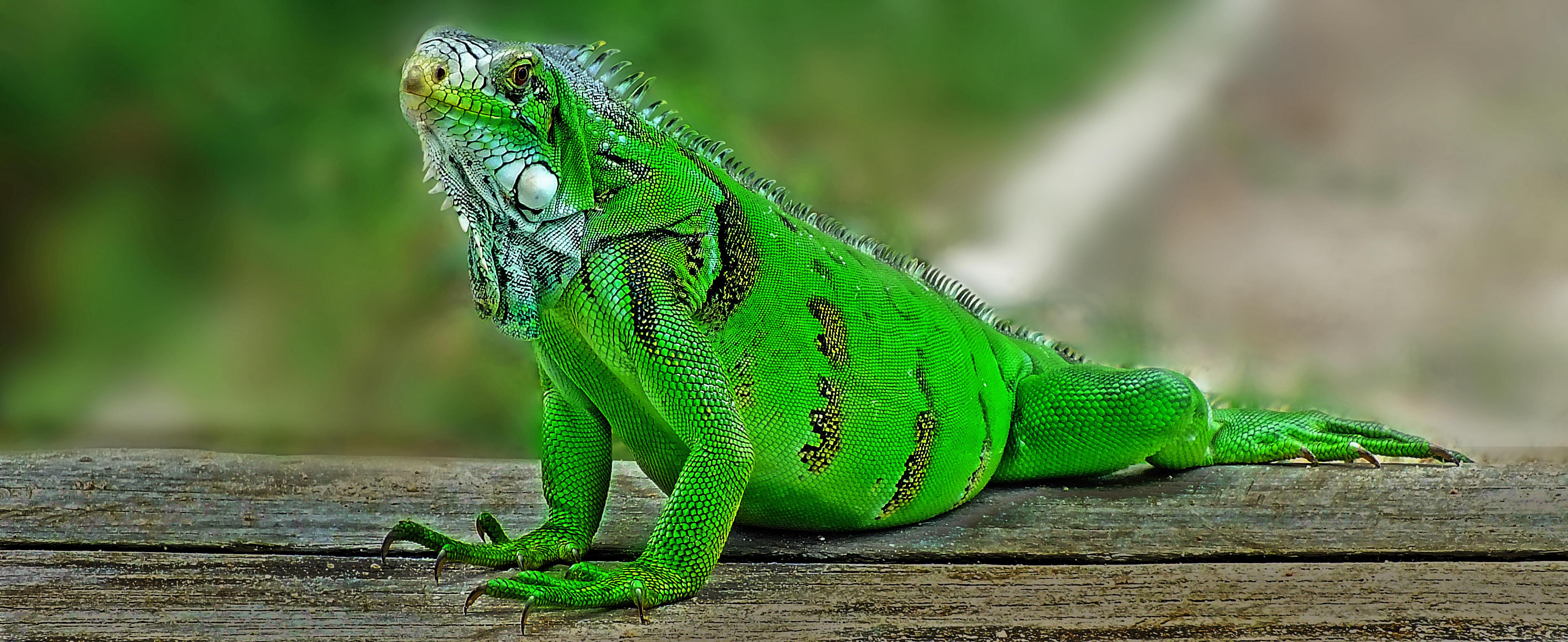Обои Iguana, Игуана, крупная растительноядная ящерица, семейства игуановых