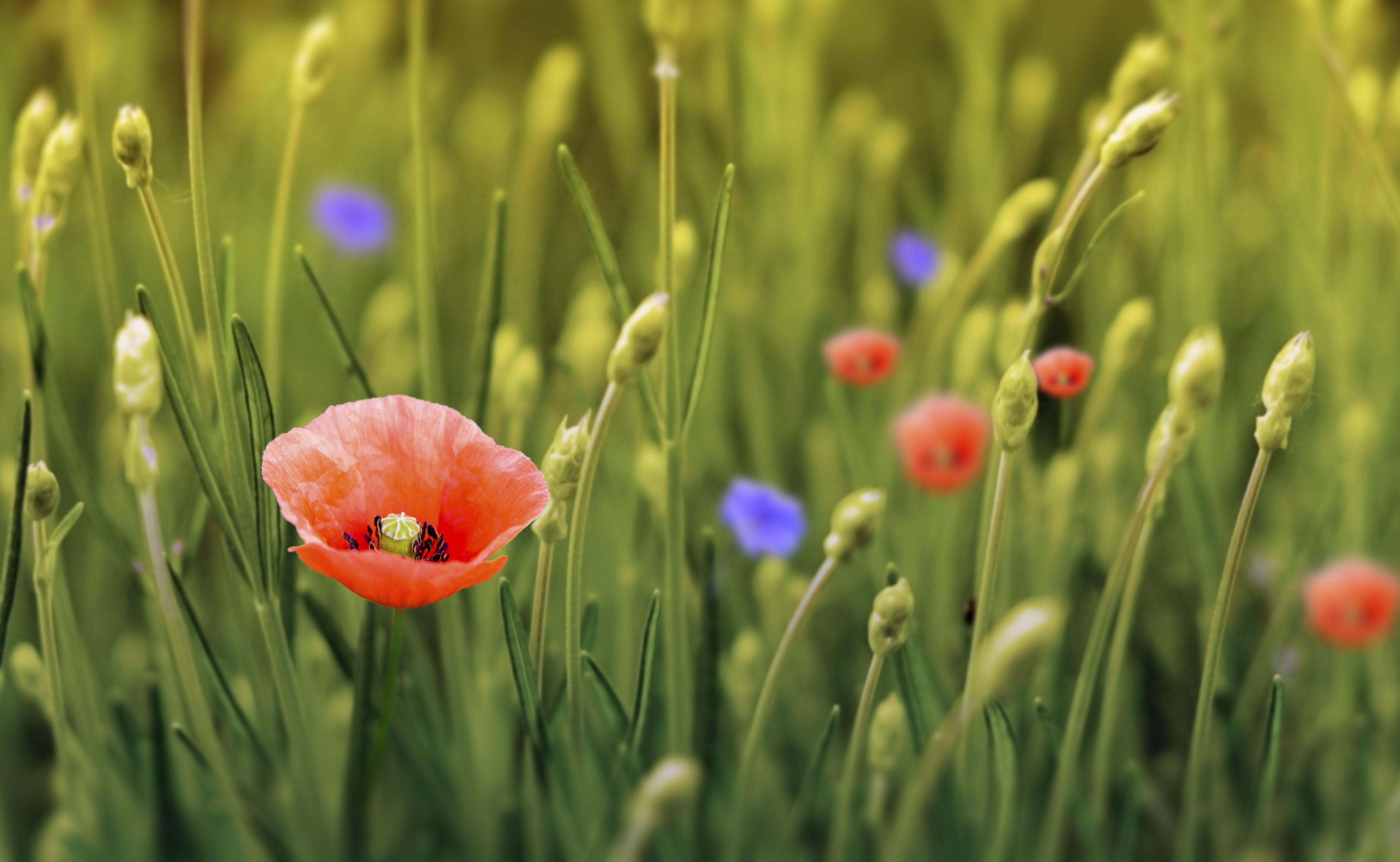 Обои поле, цветы, мак, флора