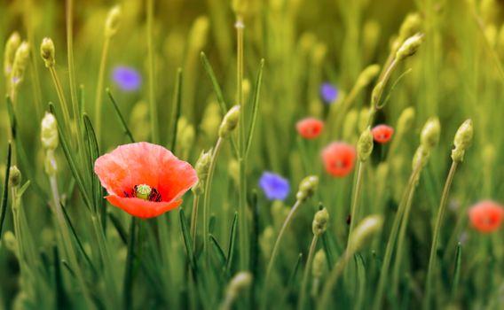 Заставки поле, цветы, мак