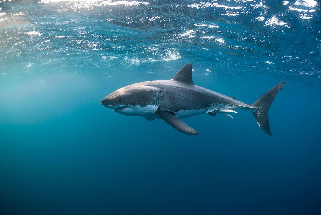 Фото бесплатно Морские обитатели, Акулы, Акула, море, вода, подводный мир