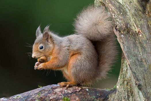 Photo free Squirrel, a genus of rodents of the squirrel family, the animal