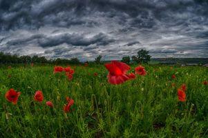 Фото бесплатно поле, маки, цветы, небо, облака, пейзаж