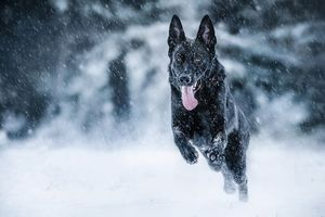 Заставки Немецкая овчарка, собака, домашнее животное