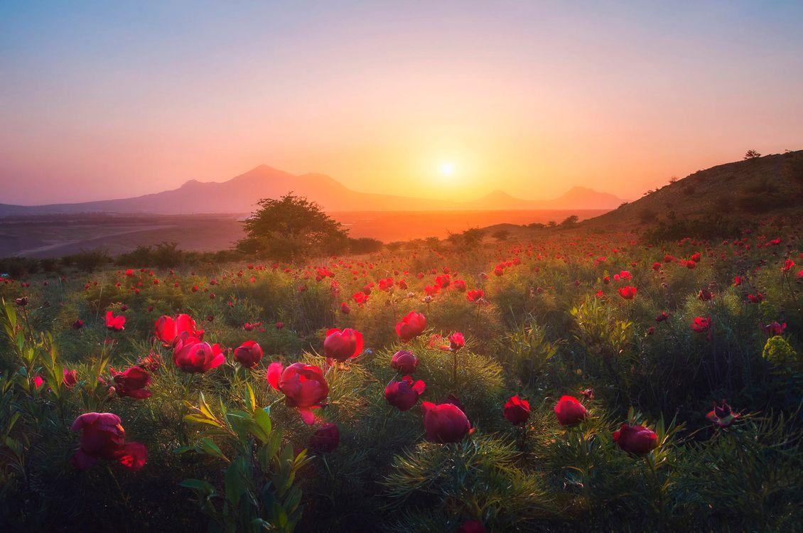 Фото бесплатно закт, поле, пионы, цветы, деревья, пейзаж, пейзажи