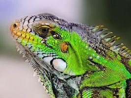 Фото бесплатно Iguana, Игуана, крупная растительноядная ящерица
