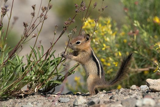 Photo free Chipmunk, rodent, animal