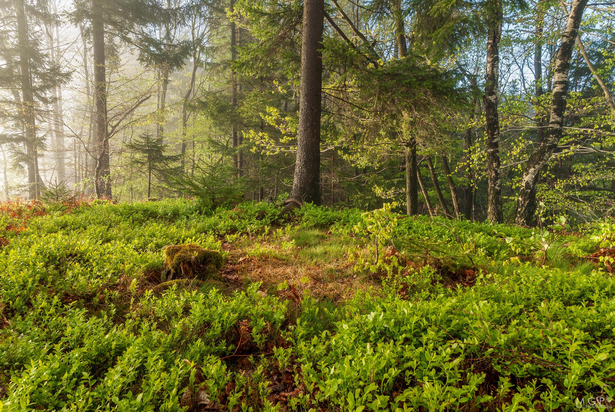 Обои лес, деревья, природа, пейзаж