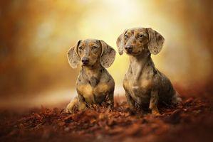 Заставки Такса, собака, домашнее животное