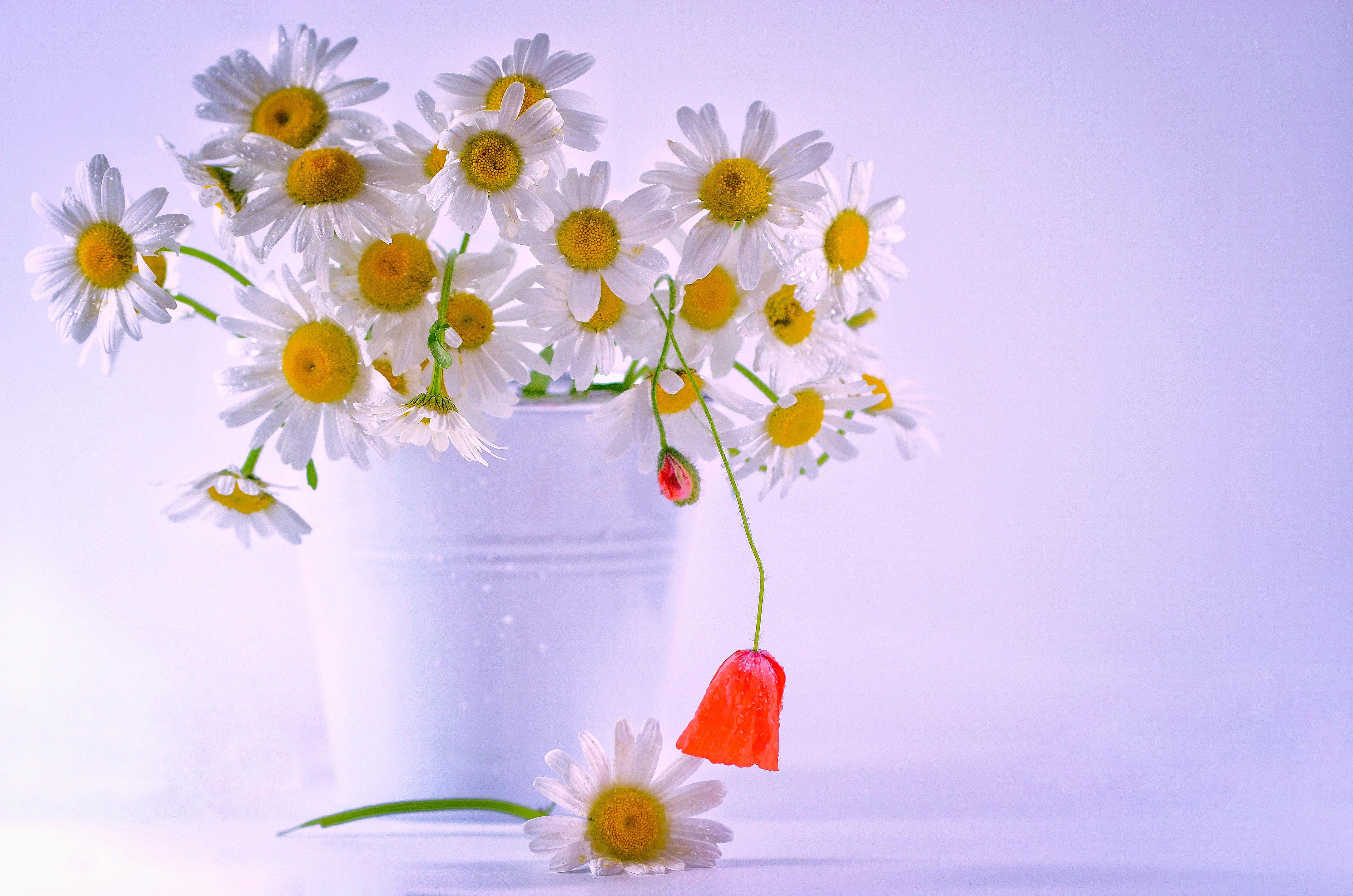 Обои ромашки, цветы, букет, флора