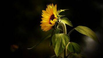 Фото бесплатно подсолнух, цветок, флора, чёрный фон