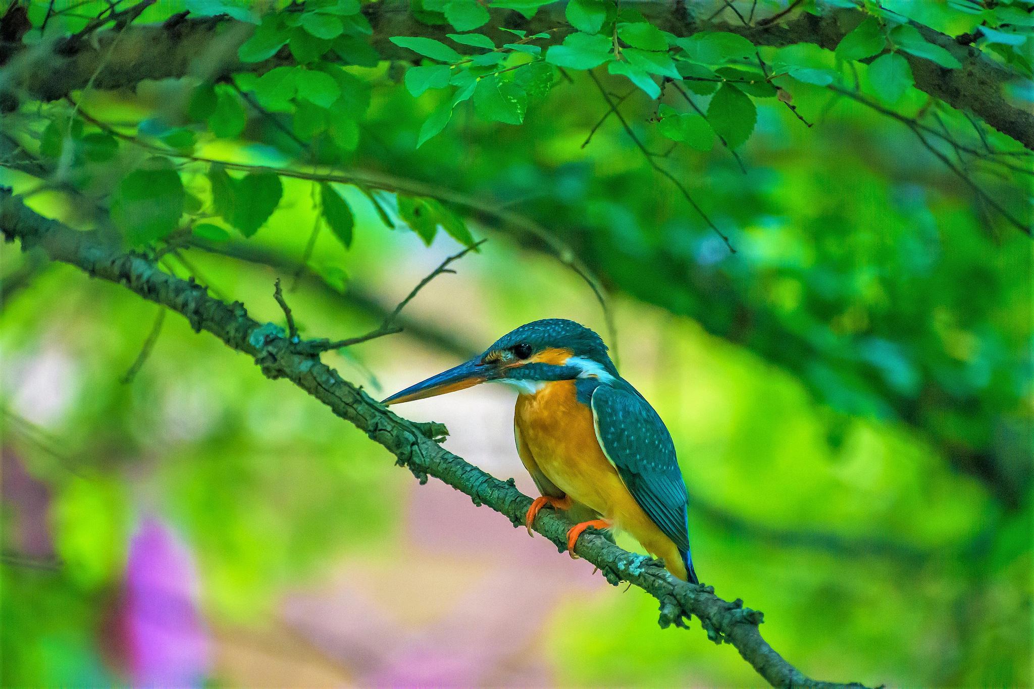 Обои зимородок, Kingfisher, птица на ветке