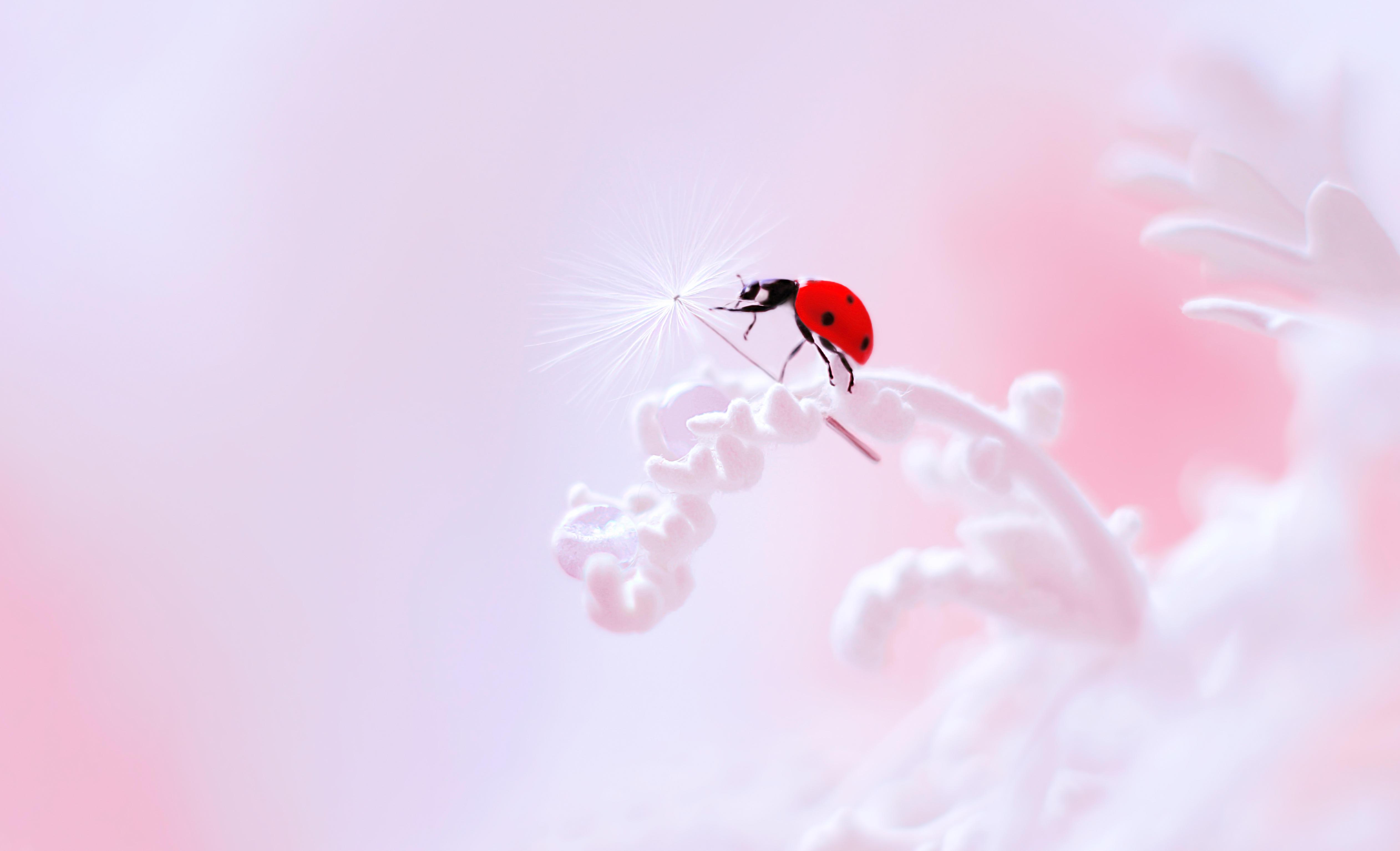 Обои божья коровка, цветок, насекомое, макро