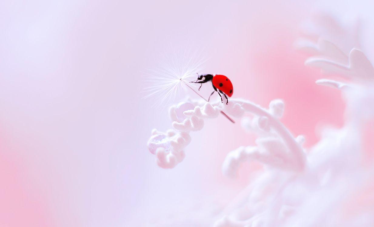 Фото бесплатно божья коровка, цветок, насекомое, макро, насекомые