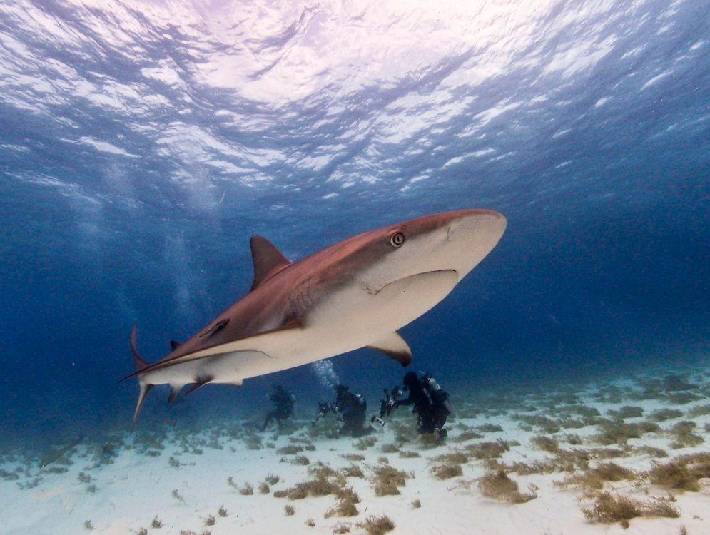 Фото бесплатно Морские обитатели, Акулы, Акула, море, морское дно, подводный мир - скачать на рабочий стол