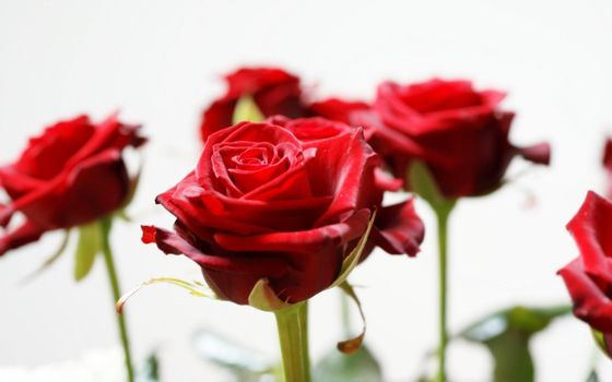 Photo free roses, long, stem