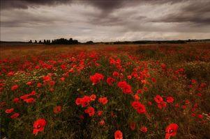 Фото бесплатно закат, поле, маки