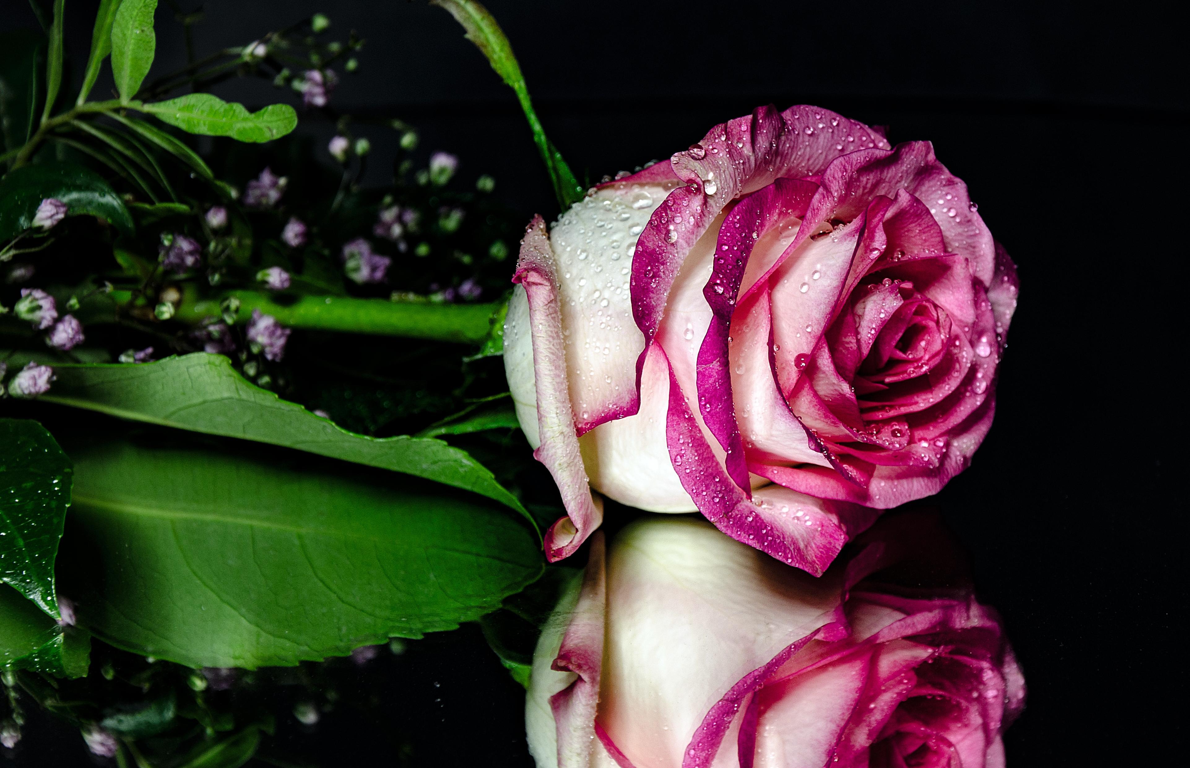 Обои На Телефон Розы Скачать Бесплатно