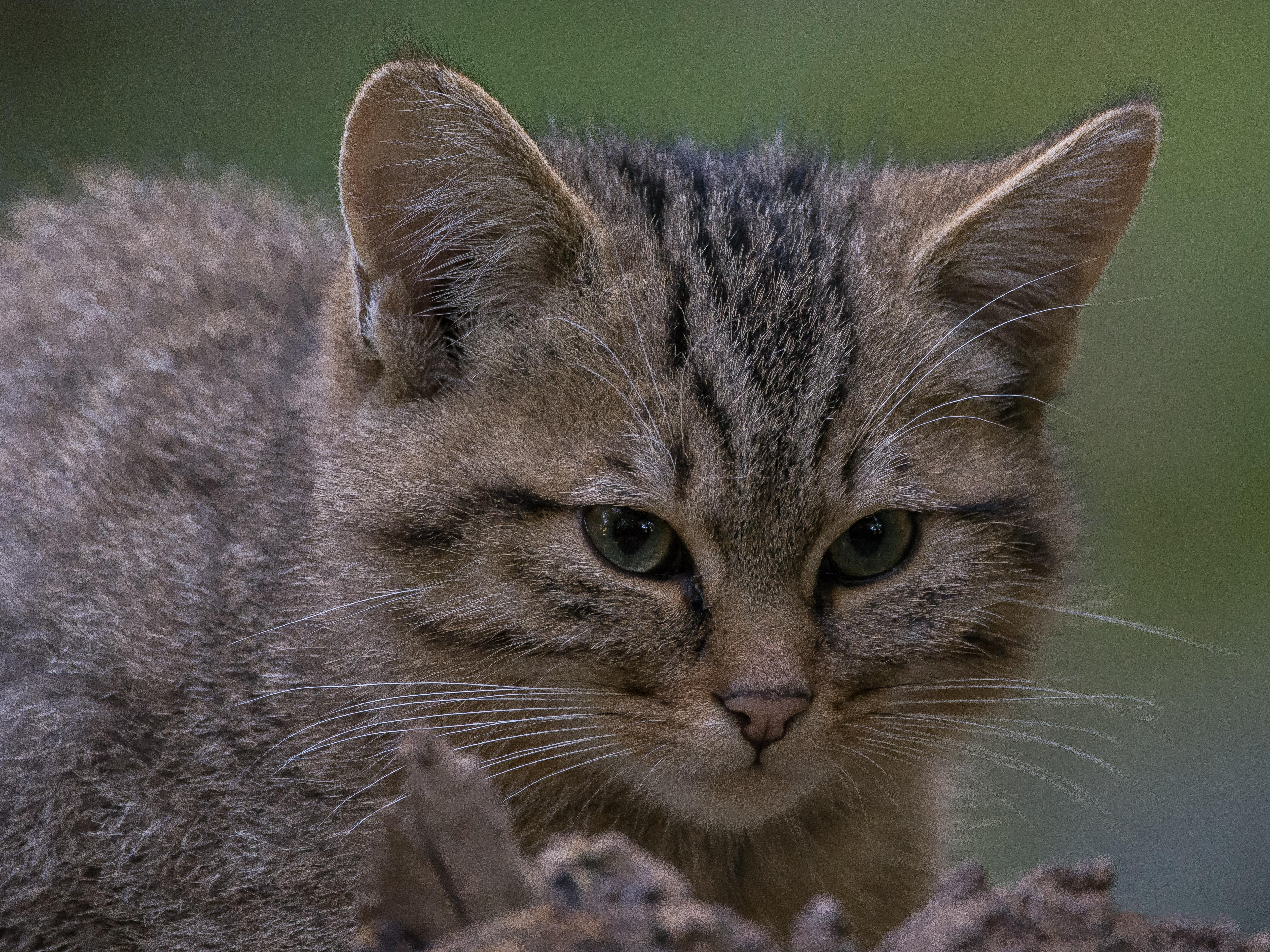 Обои European Wildcat, кот, кошка, животное