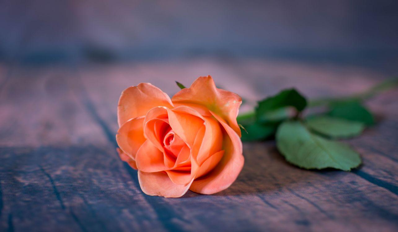 Фото бесплатно цветок, роза, флора, цветы