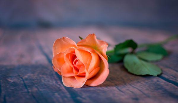 Фото бесплатно цветок, роза, флора